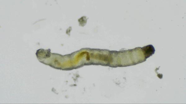Van Gölünde jandarmanın bulduğu balığın türü belirlendi