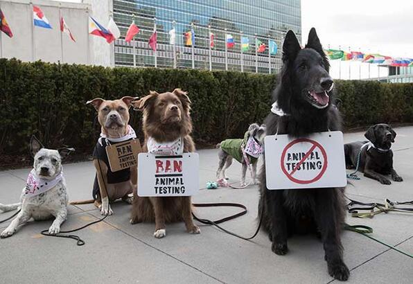 Dünyada bir ilk, köpekler hayvan deneyleri için protesto etti