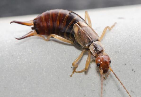 Kulağakaçan böceği zararlı mıdır?