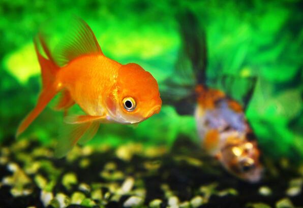 Japon balıklarının daha uzun yaşaması için ne yapmalı?