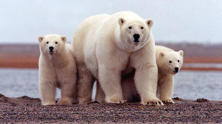 Kutup ayıları şehre indi!