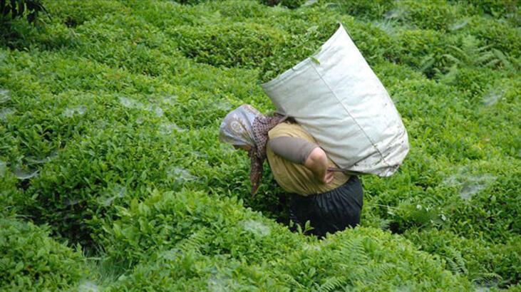 ÇAYKUR'un birinci sürgün yaş çay alımı rekorla tamamlandı