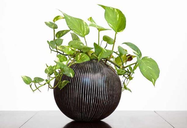 Eğer apartmanda yaşıyorsanız ve eviniz yeterince ışık almıyorsa bitki beslemek ciddi anlamda sıkıntılı bir durum olabiliyor. Eğer evinizde bitki beslemek istiyorsanız ve eviniz ışık almıyor diye endişeleniyorsanız artık endişelenmenize gerek kalmayacak. Size önereceğimiz çok fazla gün ışığına ihtiyaç duymayacak bitkilerle artık evinizde bitki yetiştirebileceksiniz.İşte gün ışığına çok fazla ihtiyaç duymayan bitkiler