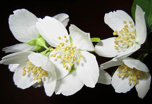 Yasemin bitkisi