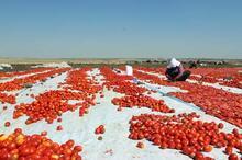 Siverek'te yılda 500 ton kurutulmuş domates üretiliyor