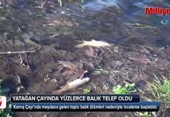 Yatağan çayında yüzlerce balık telef oldu