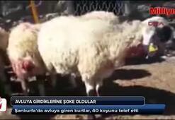 40 koyun telef oldu