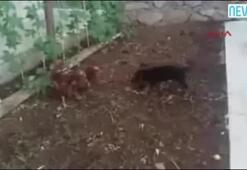 Yavru kurt köpeğine meydan okuyan tavuk