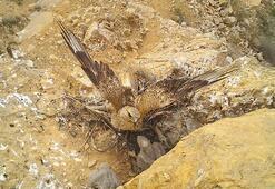 Kızıl şahinlerin yaşamı foto kapanla kayıt altına alındı