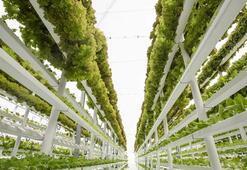 Dünyanın en büyük dikey çiftliği Dubai'de kuruluyor
