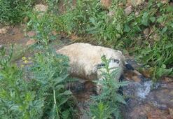 Sürüden ayrılan koyunlara kurtlar saldırdı