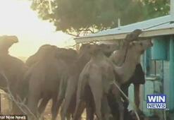 Avustralya'da deve terörü
