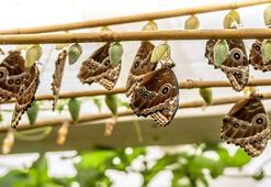 10 bin kelebeğin Konya'ya göç hikayesi