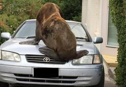 Dev fok balığı arabayı ezdi