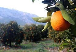 Portakalı 50 kuruşa satamayınca bedava veriyor