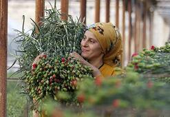 Sevgililer Günü için 8 milyon dolarlık çiçek ihracatı gerçekleşti