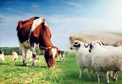 500 bin koyun 250 bin düve ahırları dolduracak