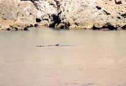 Akdeniz foku beslenirken görüntülendi