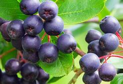 Yeni süper meyve Aronia