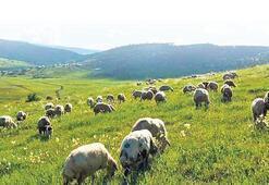 300 koyun teslimi nisanda başlıyor