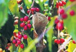 Bir kahve meyvesinin  kaç yıllık hatırı var