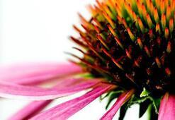 Ekinezya ve arı sütü bağışıklık sistemini güçlendiriyor
