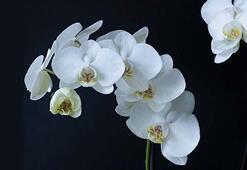 Orkideler için buz küpü mucizesi