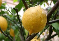 Arjantin, limonu vurdu fiyatlar yüzde 150 arttı