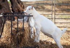 Ramazanda keçi sütü için