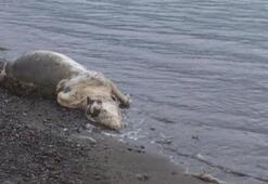 Marmariste kıyıya bu kez hayvan ölüsü vurdu