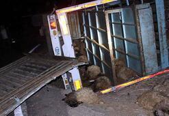 Devrilen kamyondaki 250 koyun telef oldu