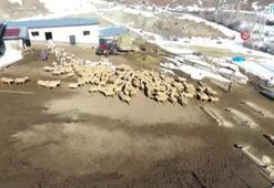 Yüzlerce koyun arasından annelerini buldular