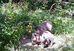 Küre Dağlarında yaşayan ayılar fotokapan ile böyle görüntülendi