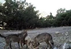 Fotokapana yakalandılar İki kurt parçaladı...