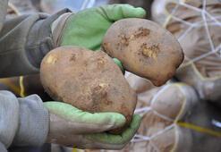 Kışlık patates tarlada 1,5 lira