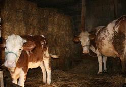 Genç çiftçilerin hayvanları dağıtılmaya başlandı