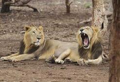 Gergedan avcısı fil tarafından ezildikten sonra aslanlara yem oldu