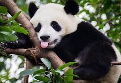 Pandaların en sevdiği besin nedir 23 Nisan kopya sorusunun cevabı
