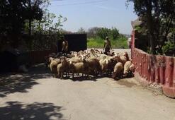 Çiftliğe giren köpekler dehşet saçtı
