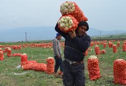 Soğan tarlada 1 lira