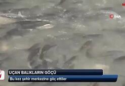 Uçan balıklar bu kez şehir merkezine göç etti