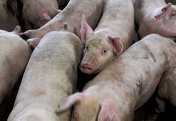 Tam 1,7 milyon domuz itlaf edildi