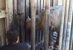 Malezyanın son erkek Sumatra gergedanı öldü