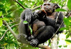 Daily Telegraph: İngilterede bazı zenginler düğünlerde şempanze eti yiyor
