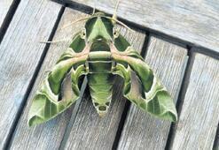 Bodrum'da mekik kelebeği görüldü