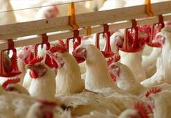 Türkiye, Çine 80 milyon dolarlık tavuk ayağı ihracatı yapıyor