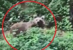 Yiyecek arayan ayı kamerayla görüntülendi