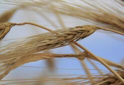 Bozkırın tarlalarında hasat zamanı