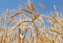 Buğdaydan 10 yılda 10 milyar dolarlık katma değer