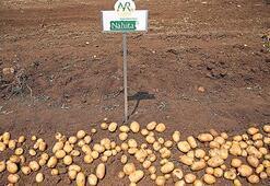 Yerli ve milli patates Nahita'nın hasadı başladı